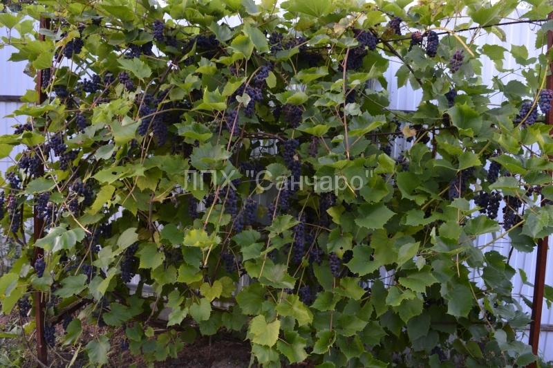 vinograd-02