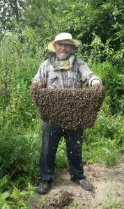 как поймать пчелиный рой голыми руками