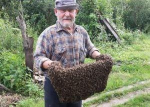 как поймать пчелиный рой