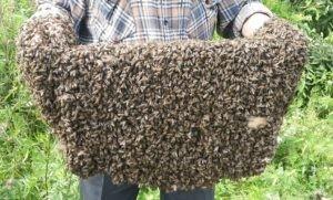 пчелиный рой голыми руками