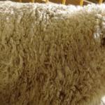 Выведена новая порода овец - южно-мфсной баран