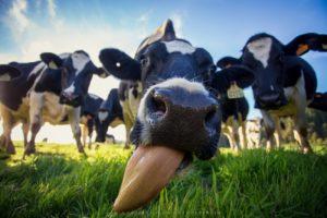 Закупочные цены на сырое молоко снижаются