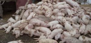 Африканская чума свиней в Росси - реальная беда