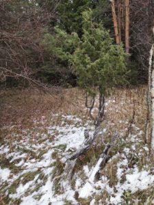 Реликтовый можжевельник во Владимирской области в начале декабря
