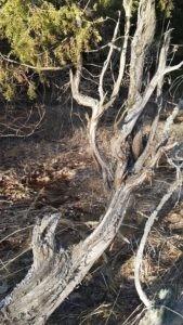 Реликтовый можжевельник во Владимирской области