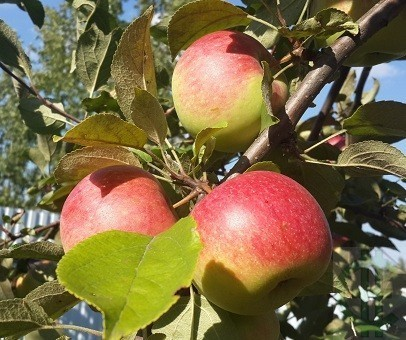 """Яблоки выращены в саду ЛПХ """"Санчаро"""", купить можно в Интернет-магазине"""