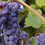 Где заказать саженцы винограда во Владиимрской области