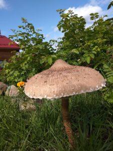 Гриб зонтик краснеющий может вырасти не только в лесу, но и на участке