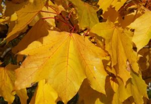 Листья клена - настоящее чудо природы