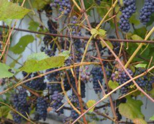 """В ЛПХ """"Санчаро"""" упешно выращивается виноград сорта """"Память Домбковской"""""""