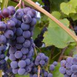 Универсальный рецепт домашнего вина из винограда