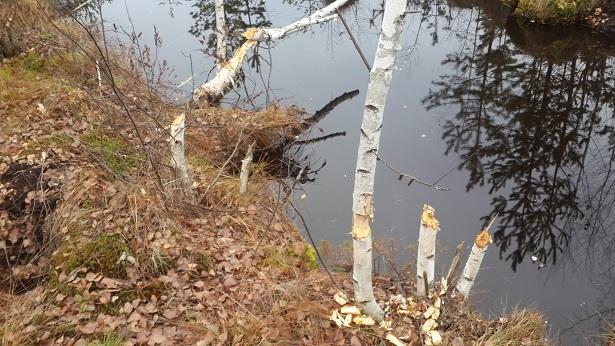 Экскурсия на болото: видим как ведут себя бобры на болоте