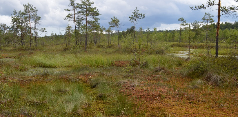 Экскурсия на болото: Мызинские и Синеборские болота